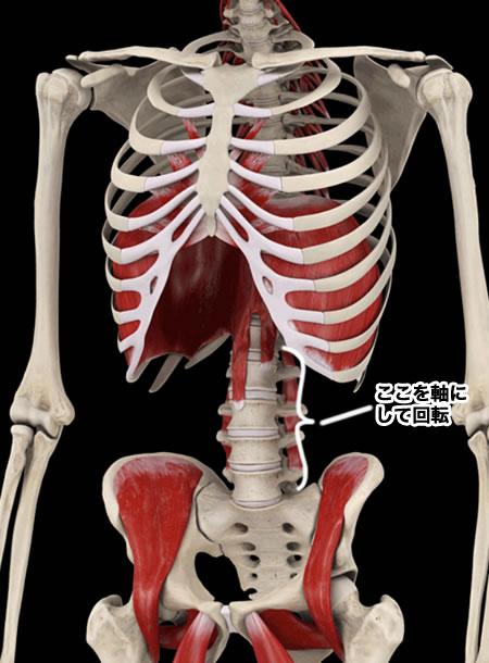 体幹部分の骨格図