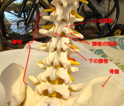腰椎の関節
